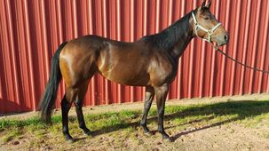 Champion Horse for Sale - Gimme No Bull